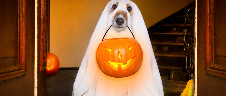 dog in Halloween ghost costume holding a jack o'lantern
